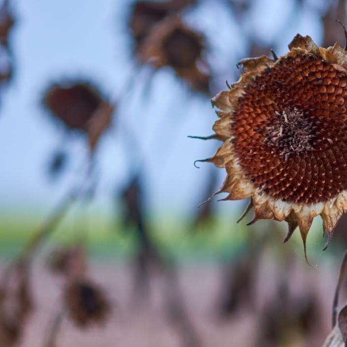 'Sonnen(Blumen)untergang' von Stefan Ludin